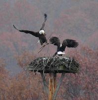 Bald eagle pair building nest at Moraine State Park (photo by Steve Gosser)