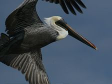 Brown Pelican (photo by Chuck Tague)
