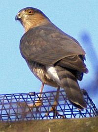 Coopers Hawk at backyard feeder (photo by William Parker)