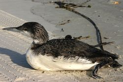 Common Loon on beach (photo by Chuck Tague)