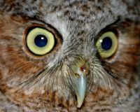 Eastern Screech-owl close up (photo by Chuck Tague)
