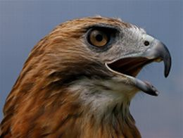 Red-tailed hawk (photo by Chuck Tague)