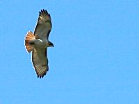 Red-tailed Hawk soaring (photo by Chuck Tague)