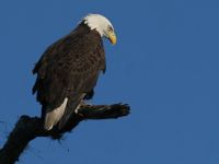 Bald Eagle (photo by Chuck Tague)