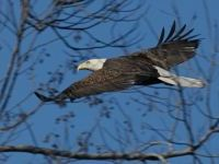 Bald eagle (photo by Chuck Tague)