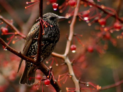 European Starling (photo by Chuck Tague)