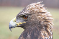 Golden Eagle (photo by Todd Katzner)