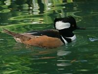 Hooded Merganser, male (photo by Chuck Tague)