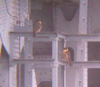 Peregrine Falcons at the Allegheny River (photo by Dan Yagusic)
