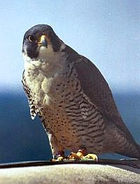 Erie, peregrine falcon, University of Pittsburgh (photo by Ed Malarkey, 2002)