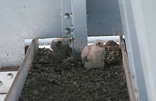 Peregrine falcon chicks, May 2007, Monaca (photo by Todd Katzner)