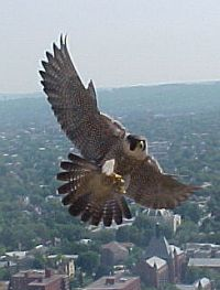 Dorothy, peregrine falcon, University of Pittsburgh (photo by Jack Rowley, 2004)