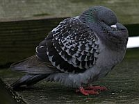 Rock Pigeon (photo by Chuck Tague)