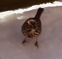 Song sparrow (photo by Marcy Cunkelman)