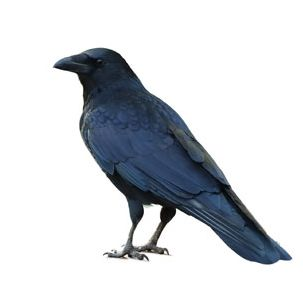 This is a Common Raven, not a Crow, but he looks so cool I had to use him here (photo from Shutterstock)
