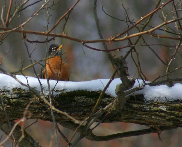 American robin in winter (photo by Chuck Tague)