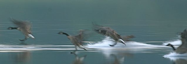 Canada Geese come in for a landing (photo by Chuck Tague)