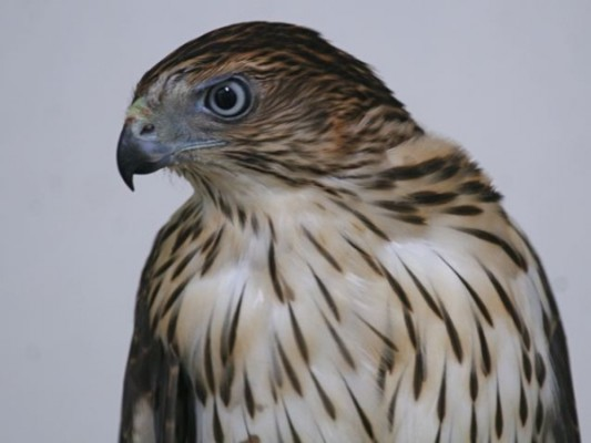 Coopers hawk (photo by Chuck Tague)