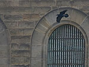 Common Raven at Western Penitentiary (photo by Chuck Tague)