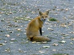 Red Fox (photo by Chuck Tague)
