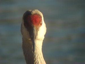 Sandhill Crane at Ethel Springs Lake (photo by Tim Vechter)