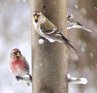 Common Redpolls at Bushy Run feeder (photo by Mark McConaughy)
