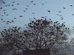Crow roost at dawn (photo by Doug Bauman)
