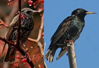 European Starling, non-breeding and breeding plumage (photos by Chuck Tague)