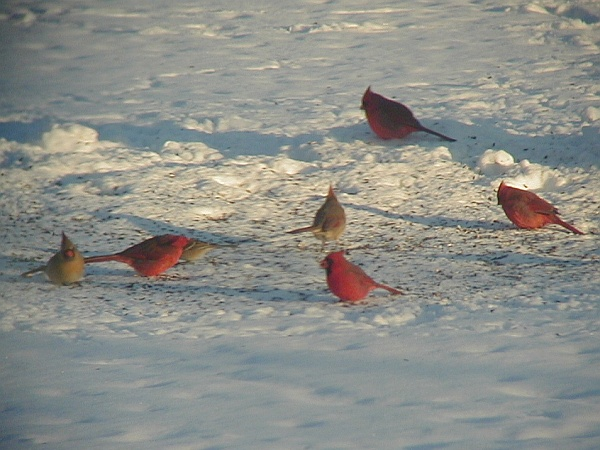 Northern cardinals feeding together in the snow (photo by Marcy Cunkelman)