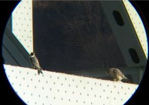 Peregrine pair at Allegheny River bridge (photo by Dan Yagusic)
