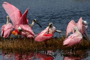 Roseate Spoonbills, Merritt Island, Florida (photo by Chuck Tague)
