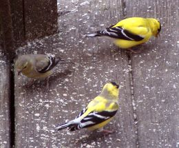 American goldfinches molting into breeding plumage (photo by Marcy Cunkelman)