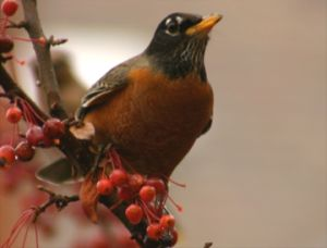 American Robin (photo by Chuck Tague)