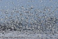 Snow Geese at Middle Creek (PGC photo by Joe Kosack)
