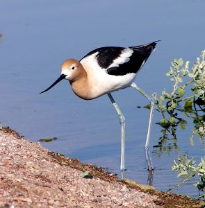 American Avocet, Henderson NV Bird Preserve (photo by Laurie Patterson)