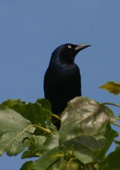 Common Grackle, male (photo by Chuck Tague)