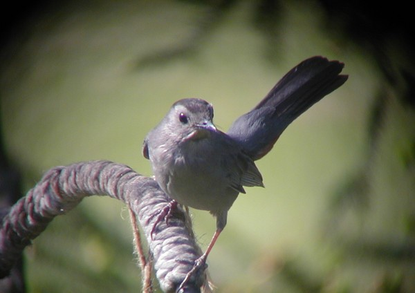 Gray catbird (photo by Marcy Cunkelman)