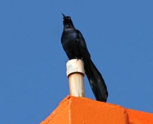 Great-tailed Grackle (photo by Chuck Tague)
