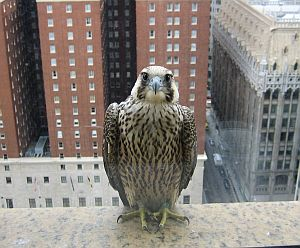 Juvenile peregrine Downtown Pittsburgh, summer 2007