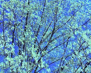 Maple flowers