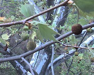 London plane tree seed balls