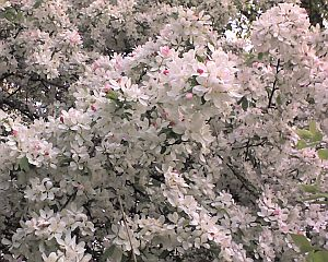 Apple blossoms in Pittsburgh