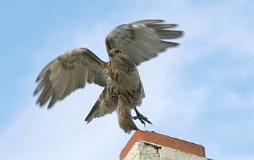 Red-tailed Hawk takes off from a chimney (photo by Bill Barron)