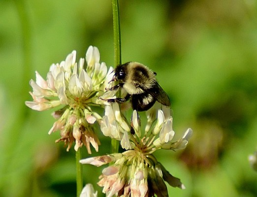 Bumblebee on white clover in the Wayne National Forest, Ohio (photo from Wikimedia Commons)