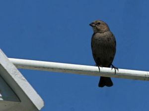 Brown-headed Cowbird, female (photo by Chuck Tague)