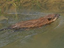 Muskrat (photo by Chuck Tague)
