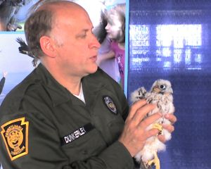 Doug Dunkerley, PA Game Commission, holds a Pitt peregrine chick (photo by Kate St.John)