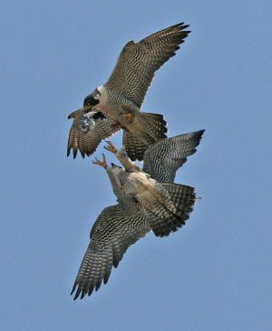 Adult Peregrine Falcons doing prey exchange (photo by Chad and Chris Saladin)