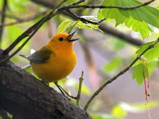 Prothonotary Warbler (photo by Chuck Tague)