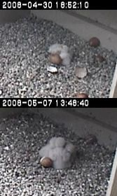 Comparison of peregrine nestlings on hatch day and one week later, University of Pittsburgh nest
